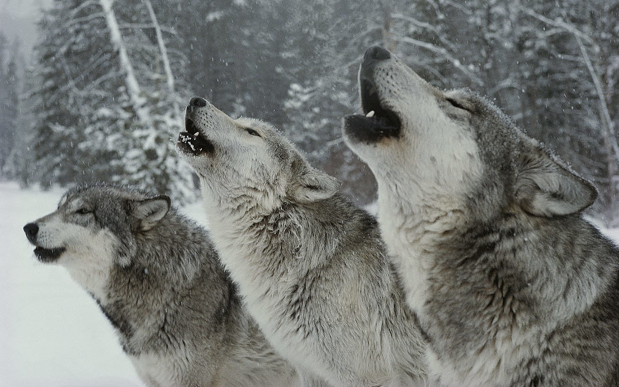 The Songs of the Wolves