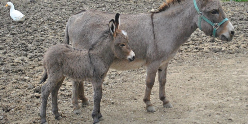 Is India S Donkey Population Falling Prey To Chinese Ejiao Producers